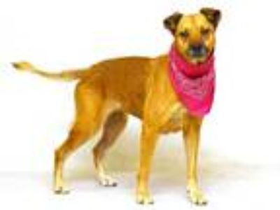 Adopt MYA a Brown/Chocolate - with Tan German Shepherd Dog / Mixed dog in