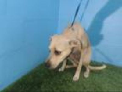 Adopt SANDY a Labrador Retriever, Mixed Breed