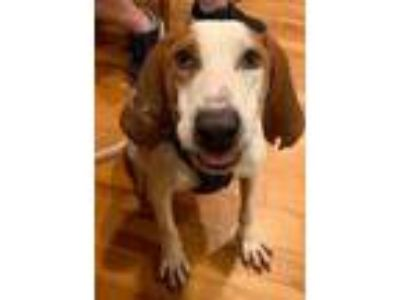 Adopt Roscoe a White - with Red, Golden, Orange or Chestnut English (Redtick)