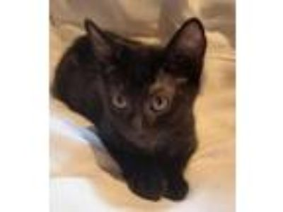 Adopt Hydrox19 a Domestic Shorthair / Mixed (short coat) cat in Youngsville