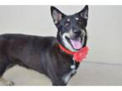 Adopt Cadabra a Black - with Tan, Yellow or Fawn Shepherd (Unknown Type) / Mixed