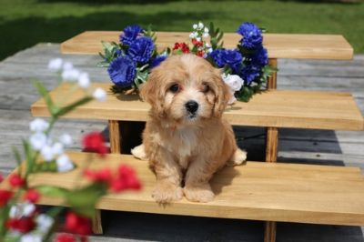 Cavachon PUPPY FOR SALE ADN-87565 - Cavachon  Puppy