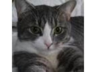 Adopt Eli. Courtesy Post a Domestic Shorthair / Mixed (short coat) cat in New