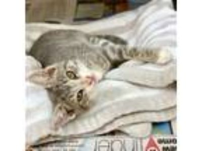 Adopt Felicia a Domestic Short Hair