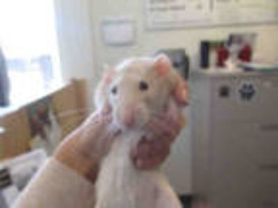 Adopt AMO a White Rat / Mixed small animal in Santa Maria, CA (25751029)