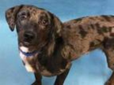 Adopt Rocky a Black Australian Cattle Dog / Mixed dog in Golden Valley