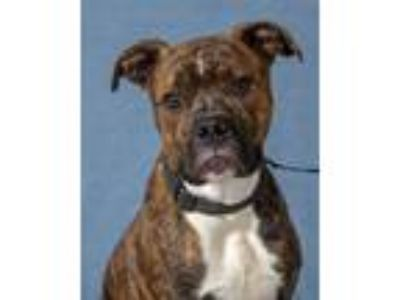 Adopt Floyd- PS a Boxer