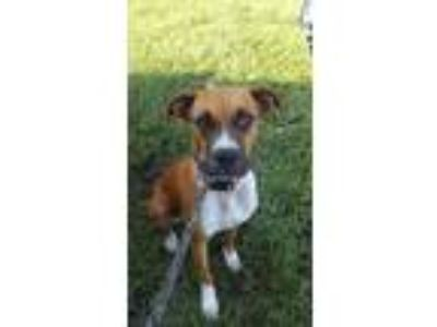 Adopt 42180461 a Tan/Yellow/Fawn Boxer / Mixed dog in Land O'Lakes