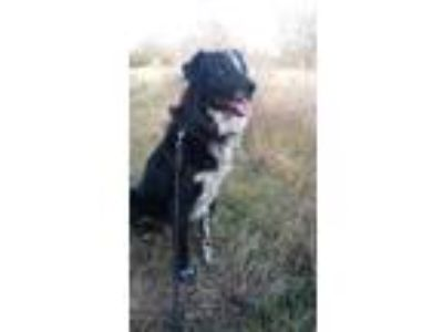 Adopt Cody a Black - with White Border Collie / Labrador Retriever / Mixed dog