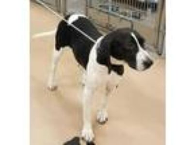 Adopt Bella a Black Mixed Breed (Large) / Mixed dog in Natchez, MS (25885707)