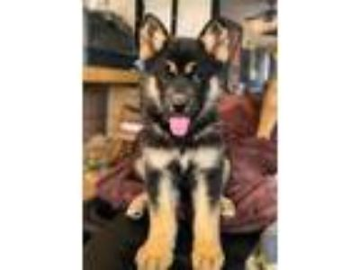 Adopt Piper Puppy a German Shepherd Dog, Australian Shepherd