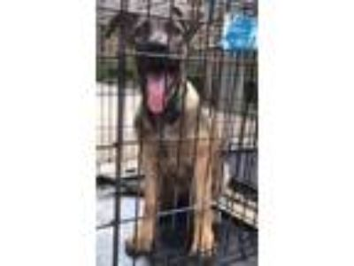 Adopt StellaRose a German Shepherd Dog