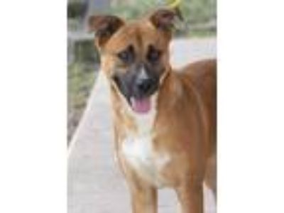 Adopt LOLA a German Shepherd Dog, Border Collie