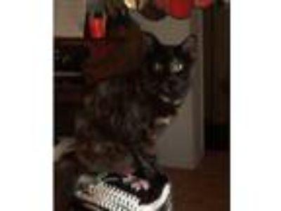 Adopt Sweetie a Tortoiseshell American Shorthair cat in Hemet, CA (24914445)