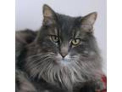Adopt Renee a Domestic Long Hair