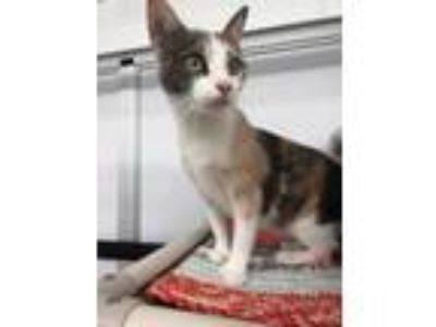 Adopt Jewel a Domestic Short Hair