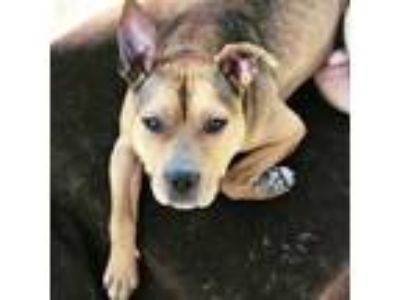 Adopt Milo a Brown/Chocolate Mixed Breed (Medium) / Mixed dog in Strongsville