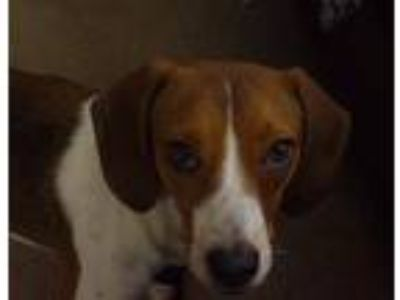 Adopt Jaz a Brown/Chocolate - with White Beagle / Mixed dog in Overland Park
