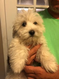Havanese PUPPY FOR SALE ADN-99584 - AKC Havanese Litter