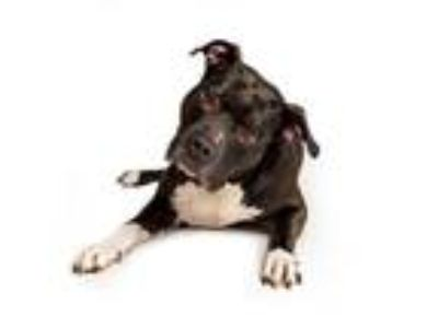 Adopt Venom a Black - with White Staffordshire Bull Terrier dog in Bellaire