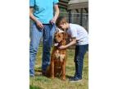 Adopt Wicker a Red/Golden/Orange/Chestnut Labrador Retriever / Mixed dog in