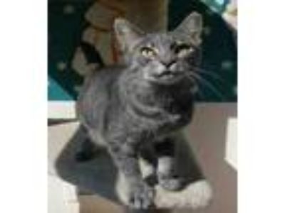 Adopt Misha a Domestic Shorthair / Mixed cat in Mipiltas, CA (25569989)
