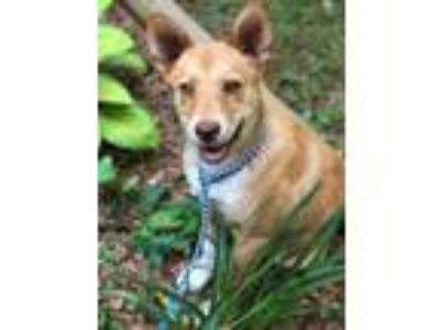 Adopt Starsky a Tan/Yellow/Fawn Corgi / Mixed dog in Cumming, GA (25333225)