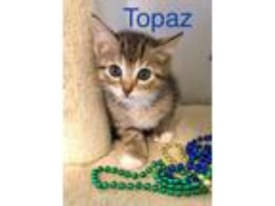 Adopt Topaz a Domestic Shorthair / Mixed (short coat) cat in Cumming