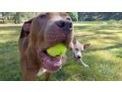 Adopt Maui a Brown/Chocolate - with White American Pit Bull Terrier / Mastiff /
