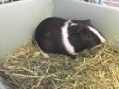 Adopt GUMP a Black Guinea Pig / Mixed small animal in Waterford, VA (25929543)