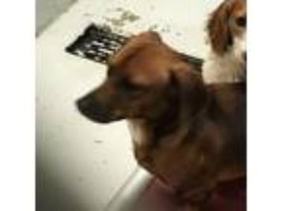Adopt browny jr a Brown/Chocolate Dachshund / Mixed Breed (Small) dog in League