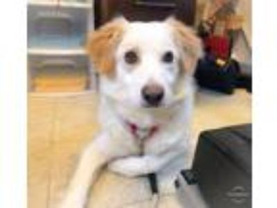 Adopt Milkshake a White Border Collie / Mixed dog in Wantagh, NY (25269582)