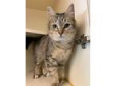 Adopt Gypsy a Domestic Mediumhair / Mixed cat in Concord, NH (25884073)
