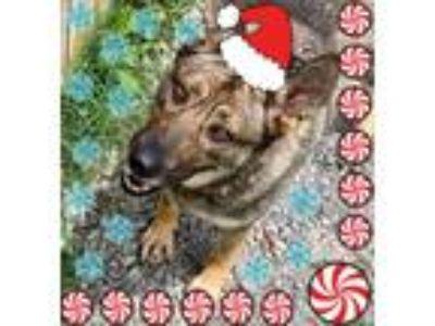 Adopt Lakin a Black - with Tan, Yellow or Fawn German Shepherd Dog / Mixed dog