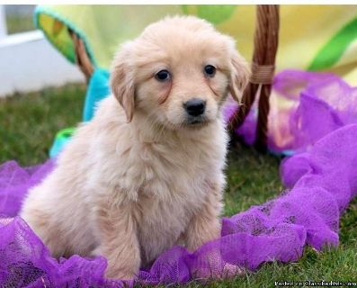 Cute Golden Retrivers For Adotion Re