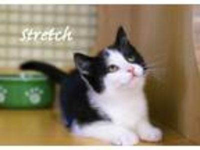 Adopt Stretch, Male Kitten a Domestic Short Hair