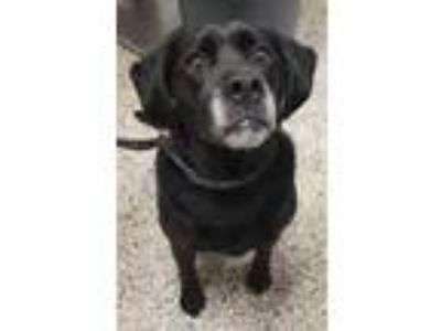 Adopt Duke a Labrador Retriever, Mixed Breed