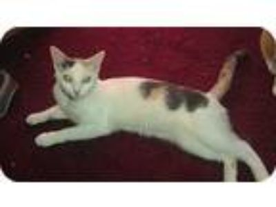 Adopt Audrey a Calico or Dilute Calico American Shorthair (short coat) cat in