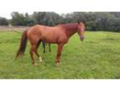 Adopt kayleigh Karrot a Thoroughbred