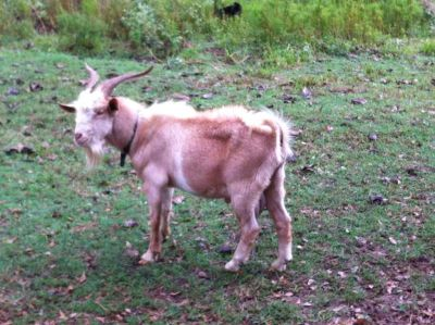 Spanish Buck Goat for Sale