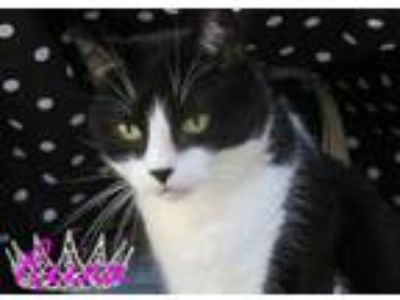 Adopt Reina a Domestic Short Hair, Tuxedo