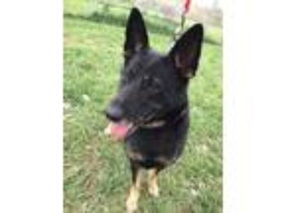 Adopt Amara a German Shepherd Dog