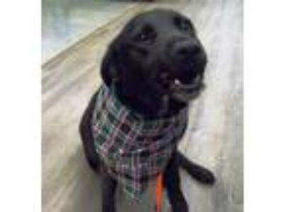 Adopt Jojo a Labrador Retriever, Border Collie