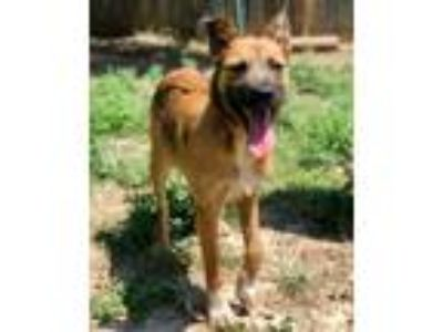 Adopt ADELL a Brown/Chocolate - with Black Shepherd (Unknown Type) / Belgian