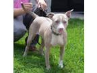Adopt Penelope a Pit Bull Terrier, Hound