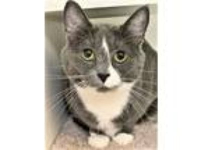 Adopt Mata a Domestic Short Hair