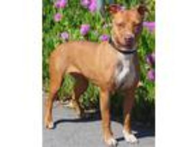Adopt Canela a Pit Bull Terrier / Mixed dog in Vallejo, CA (23516108)