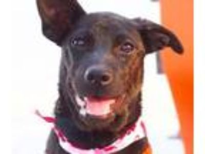 Adopt Hermoda a Black Labrador Retriever / Terrier (Unknown Type