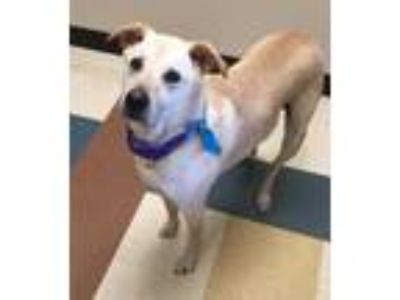 Adopt Princess a Tan/Yellow/Fawn Labrador Retriever / Mixed dog in Mesquite