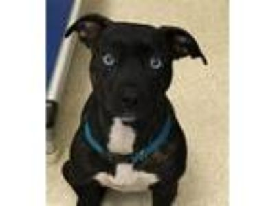 Adopt Karma a American Staffordshire Terrier / Mixed dog in Grand Rapids